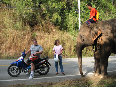 The armadillos are so big in Thailand that you can ride them.