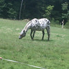 Horse looked like a dalmation.