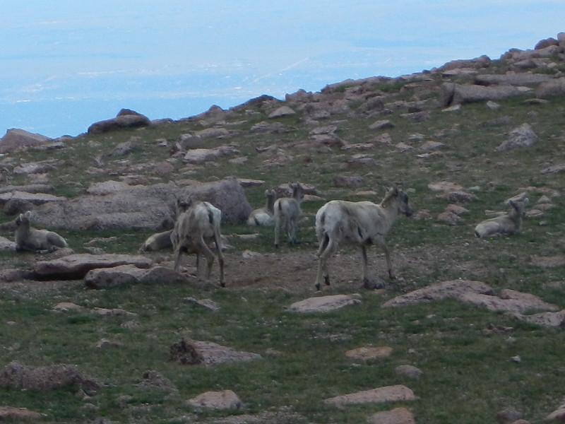 Big horn sheep on Pike's Peak