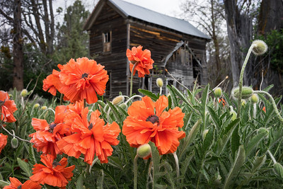 The poppies at the old house were in bloom.