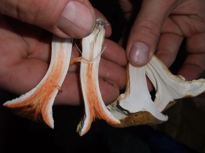 How to tell a false chantarelle from a real one. (Real on the right.)