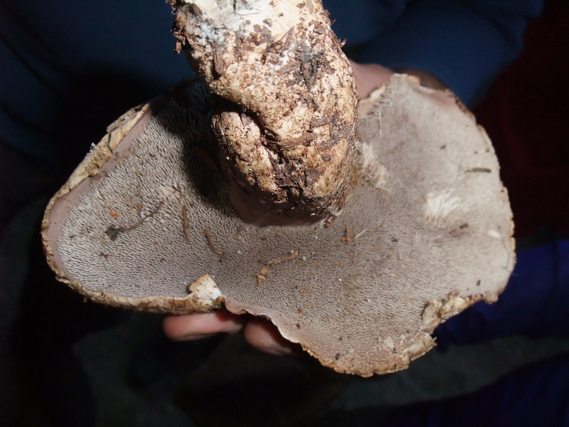 A toothed mushroom.