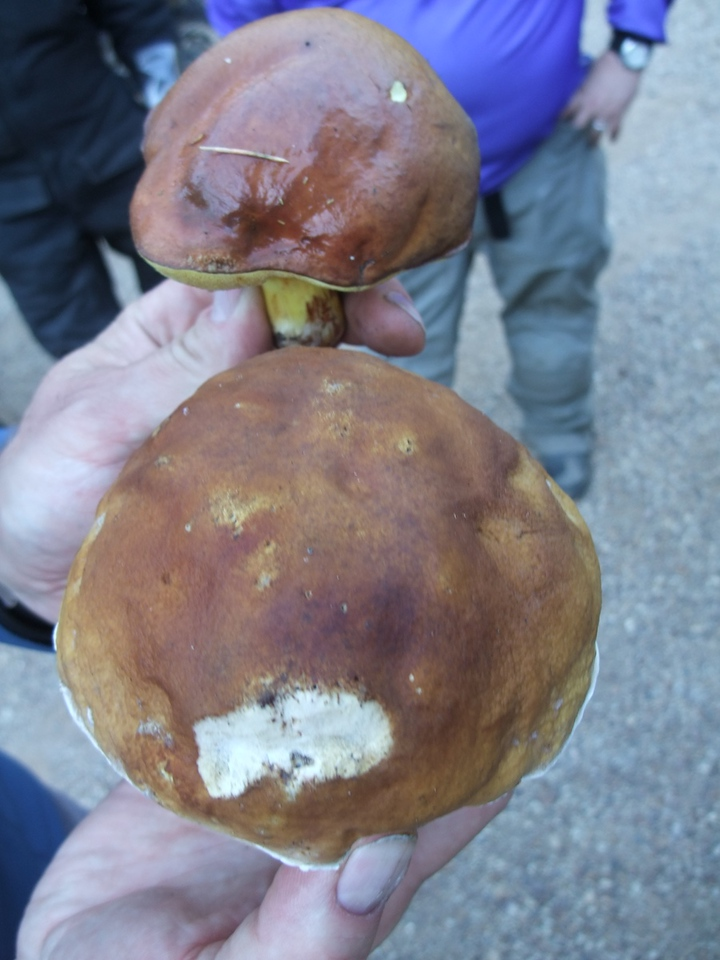 A comparison between Boletus (bottom) and Russula (top)--a Slippery Jack.