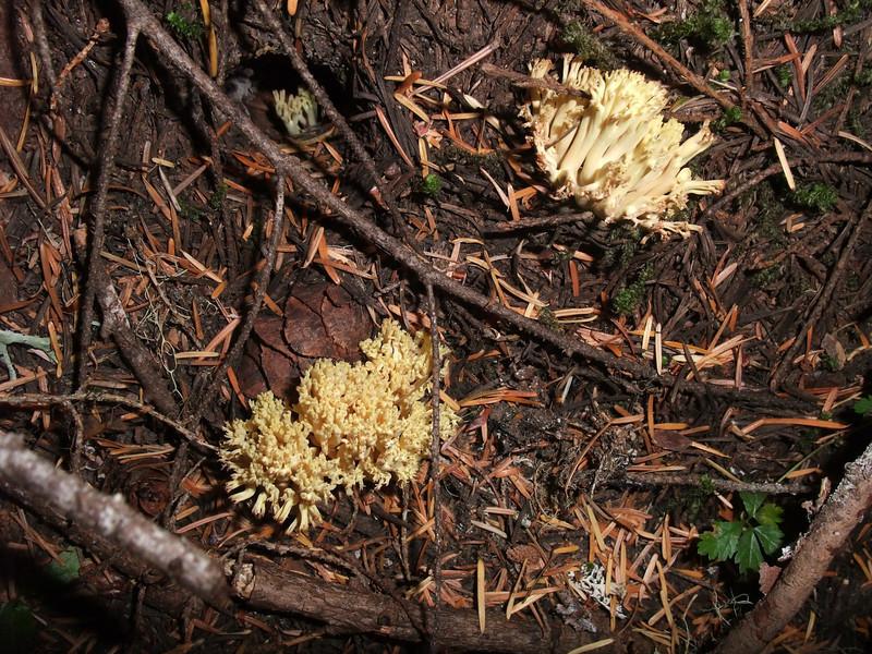 Coral Mushrooms.