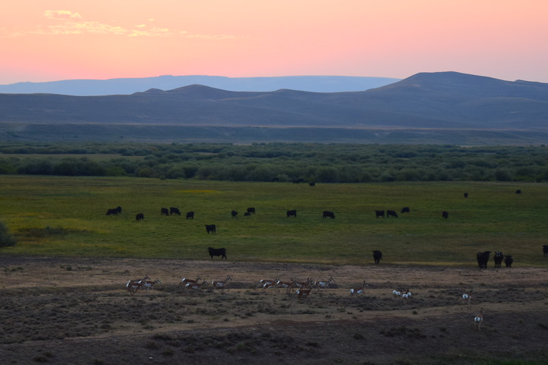 Pronghorn mingling with cattle