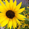 Sunflower outside of the Escalante Outfitters