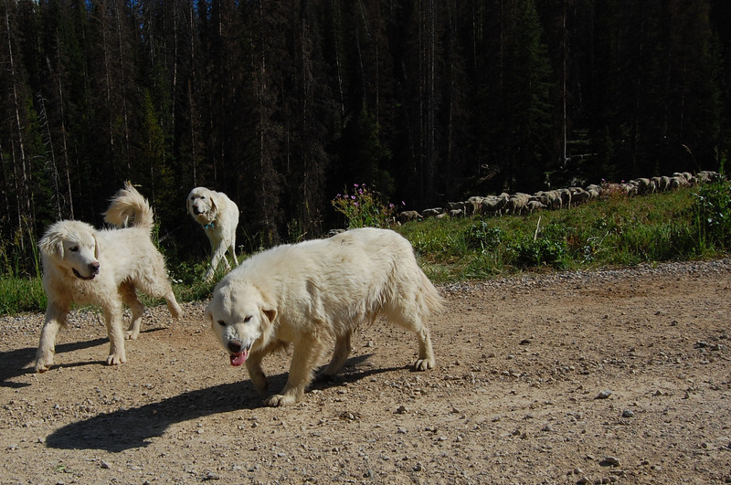 Met some Pyrenees who were watching their sheep