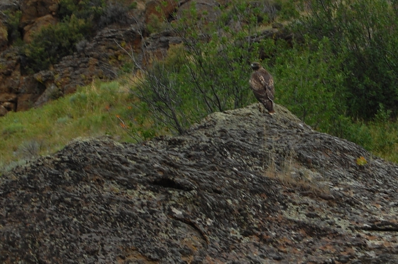 Hawk on rock.