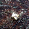 White chanterelles