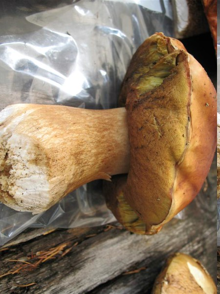 Boletus Egilus...( soon to be mushroom soup! )
