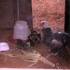 hen w/chicks