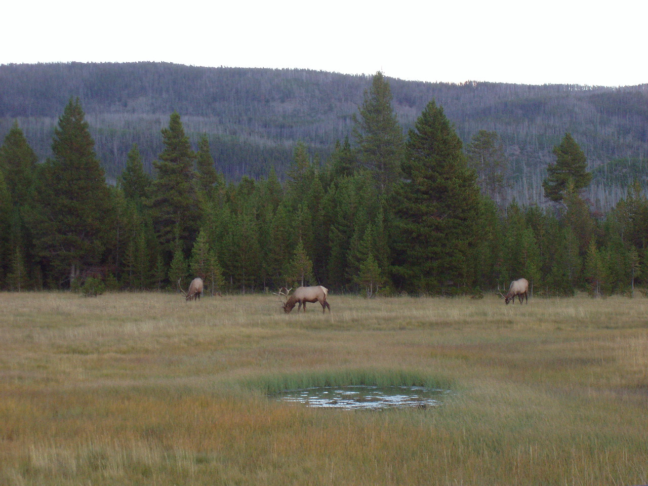 Three more bigger bull elk.