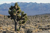 Joshua tree near Hwy 95.