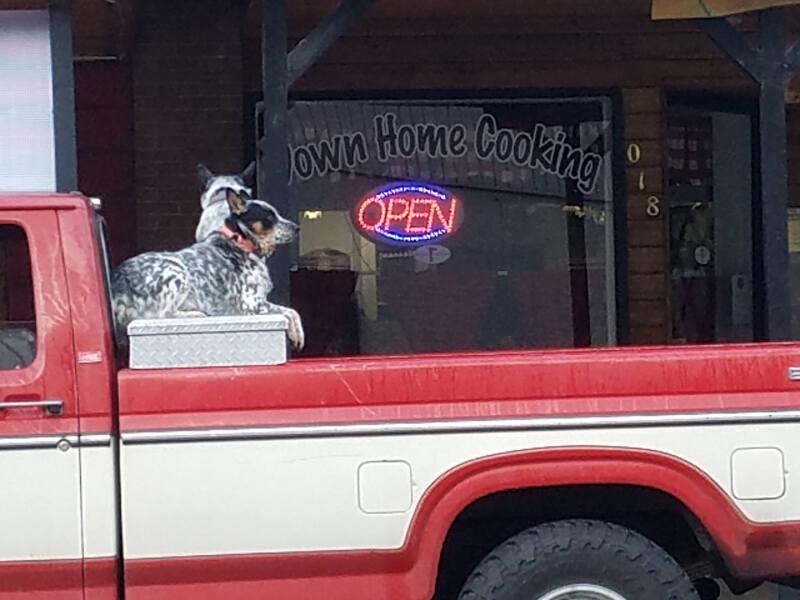 cattle dogs in pickup