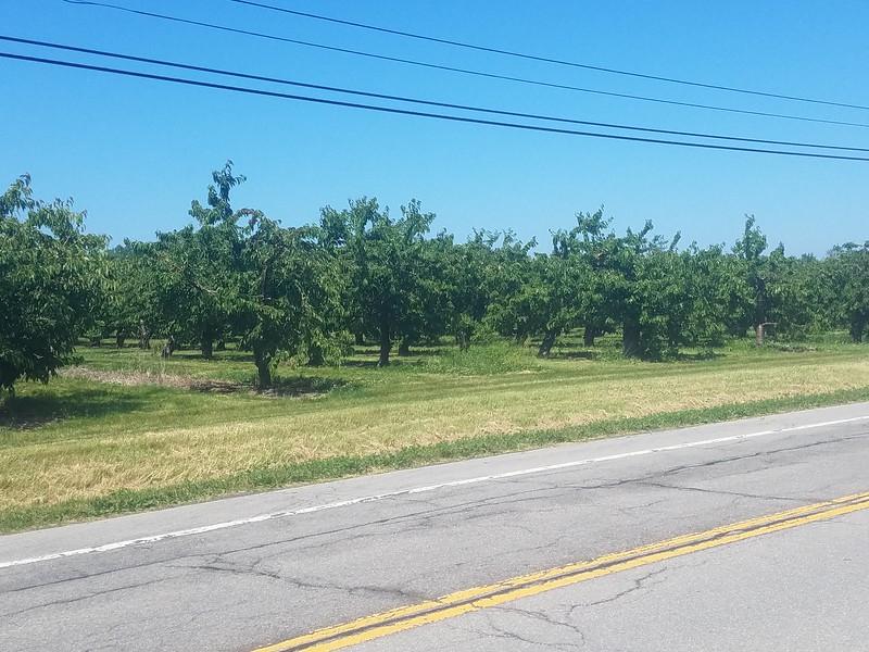 Cherry orchards along NY 18