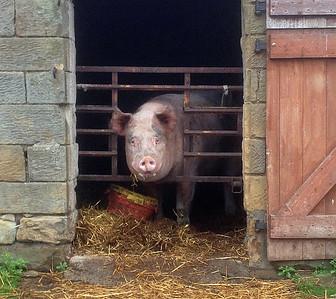3 Lealholm pig 2 (1)