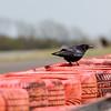 Silverstone Crow