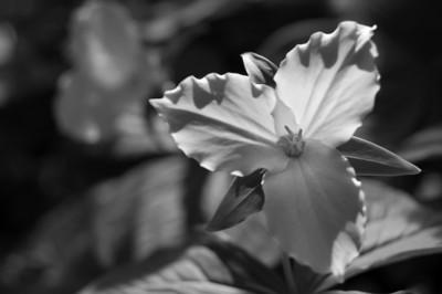 Rochester | Large-flowered Trillium (Trillium grandiflorum) | Oakland County