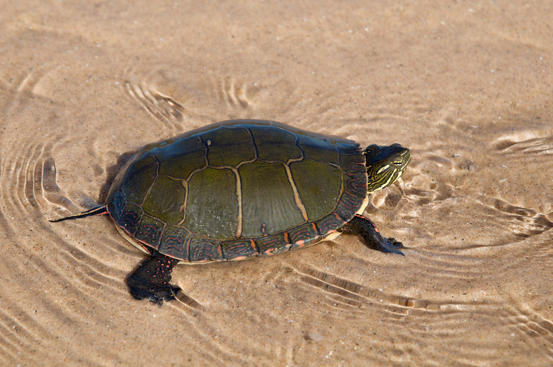 """<br> <br> Painted Turtle (Chrysemys picta) <br> <br> buy:<a href=""""http://www.istockphoto.com/stock-photo-13581513-painted-turtle.php"""" > digital download</a>"""