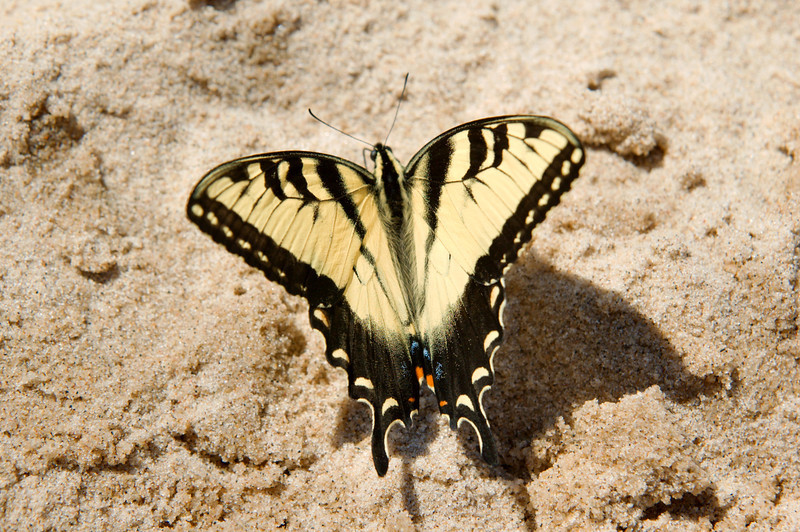 <br> <br> Eastern Tiger Swallowtail (Papilio glaucus) <br> <br>