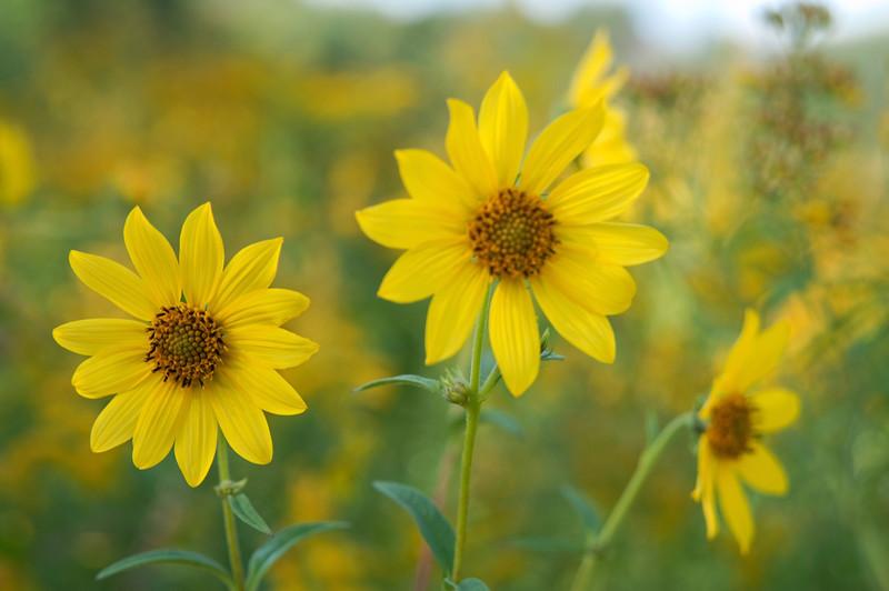 <br> <br> Prairie Sunflower (Helianthus pauciflorus) <br> <br>