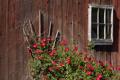 Red Barn and Roses