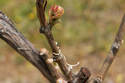 Budding Grapevine near Traverse City