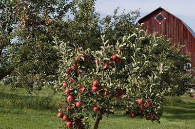 Apple Orchard near Traverse City   buy: digital download