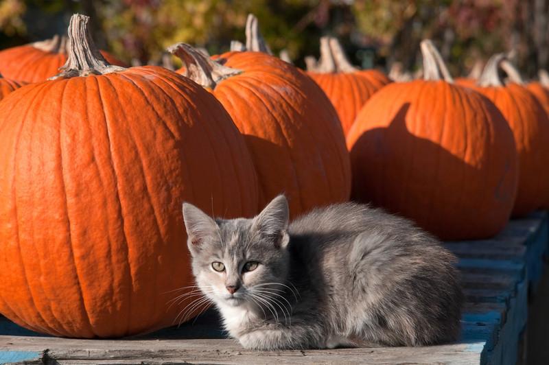 <br> <br> Kitten at a Pumpkin Stand <br> <br>
