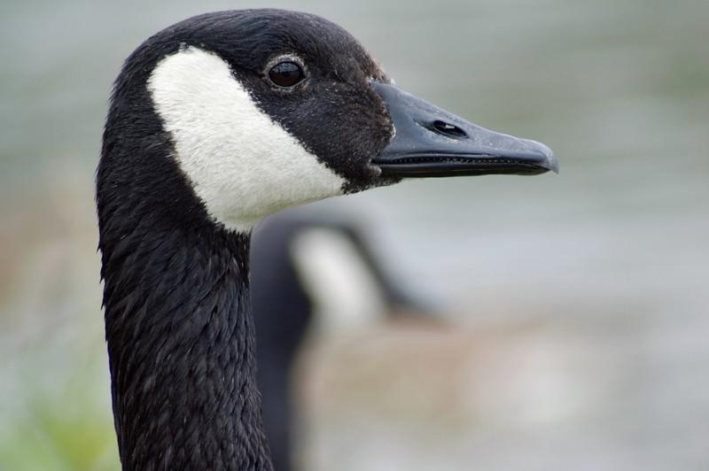 <br> <br> Canada Goose (Branta canadensis) <br> <br>