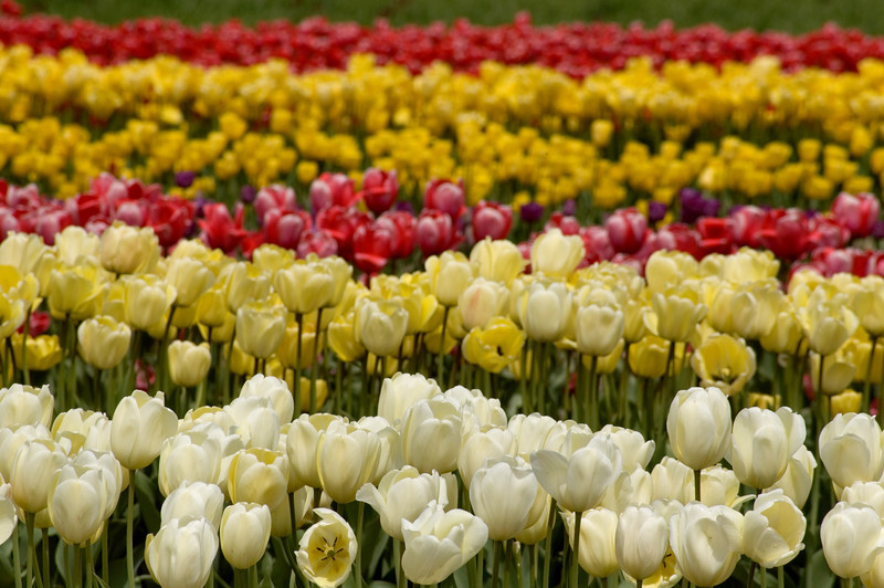 """<br> <br> Tulips in the City of Holland in Michigan <br> <br> buy:<a href=""""http://www.istockphoto.com/stock-photo-6025723-tulip-rows.php"""" > digital download</a>"""