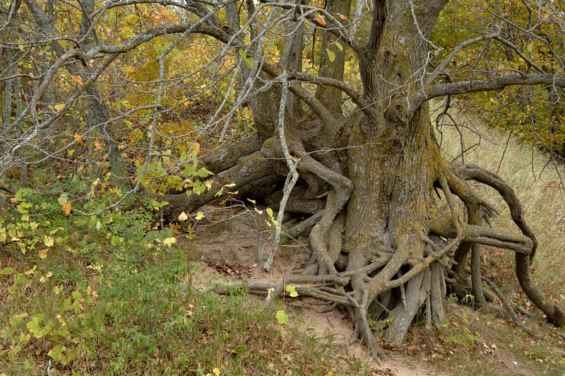 """<br> <br> Roots of a Tree in the Sleeping Bear Dunes <br> <br> buy:<a href=""""http://www.istockphoto.com/stock-photo-5022777-tree-roots.php"""" > digital download</a>"""