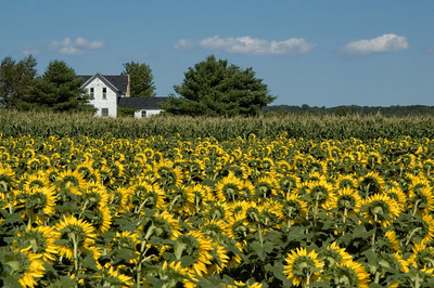 Old Farmhouse and Sunflower Field   buy: digital download