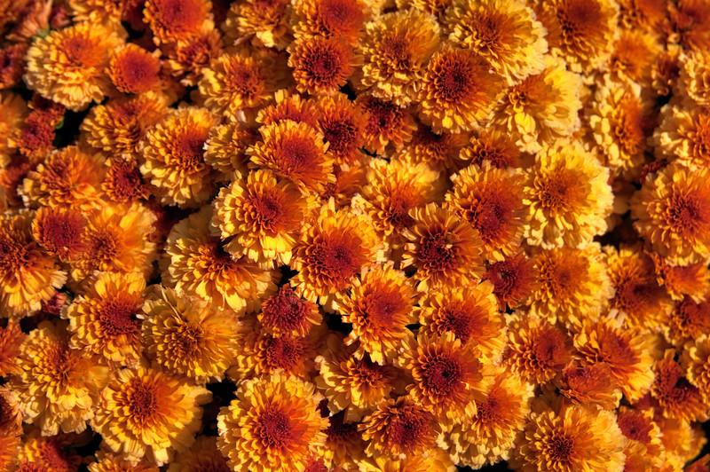 <br> <br> Orange-colored Chrysanthemums <br> <br>
