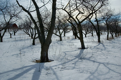 Wintry Orchard near Traverse City