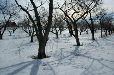 Wintry Orchard near Traverse City