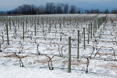 Wintry Vineyard on Old Mission Peninsula   buy: digital download