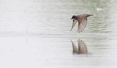 Tyran tritri, Eastern kingbird.