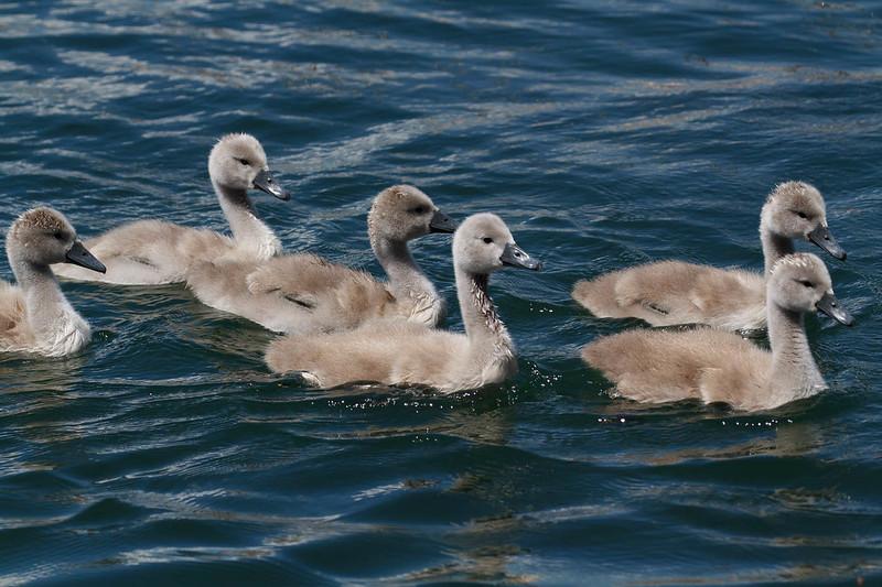bébés cygnes-7369