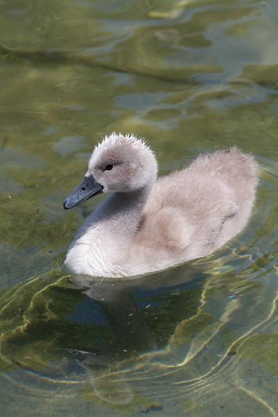 bébés cygnes-7389