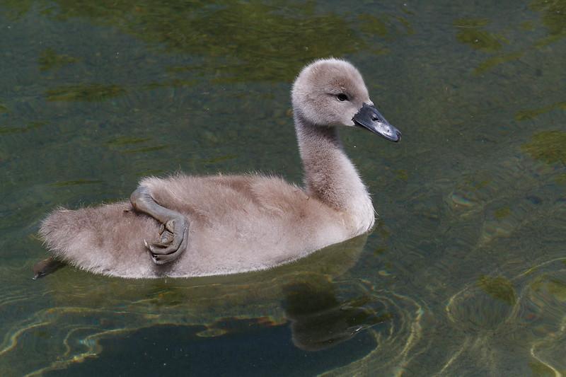 bébés cygnes-7397