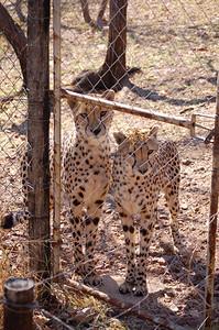 Cheetah (11)
