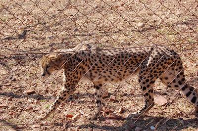 Cheetah (9)