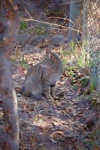 African Wild Cat (3)