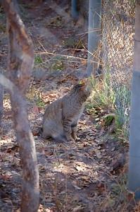 African Wild Cat (2)