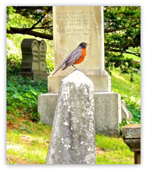 Mount Auburn Robin