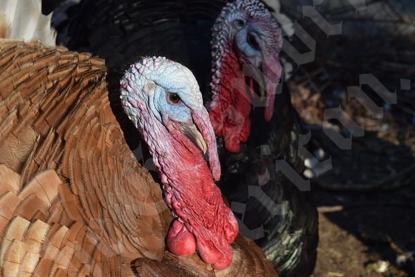 Town Hill Turkeys