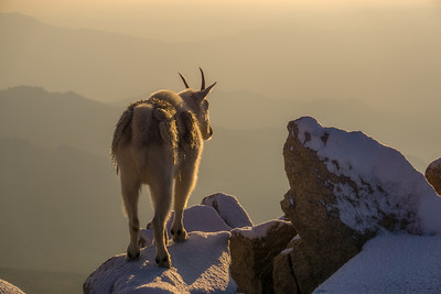 Mountain Goat on Snowy Peak