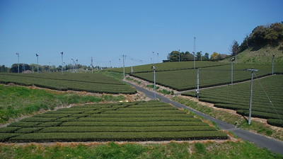 Tea grown on hillside in Shizuoka Prefecture