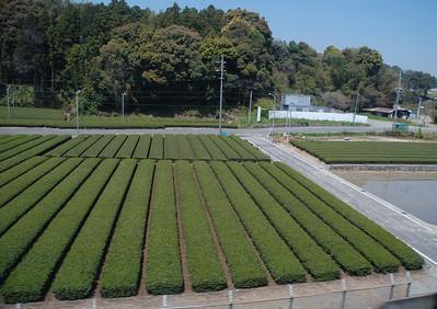 Tea in Shizuoka Prefecture